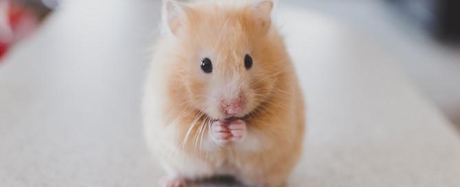 Foto van een hamster voor het figuurlijke knagen dat het allemaal niet goed genoeg is