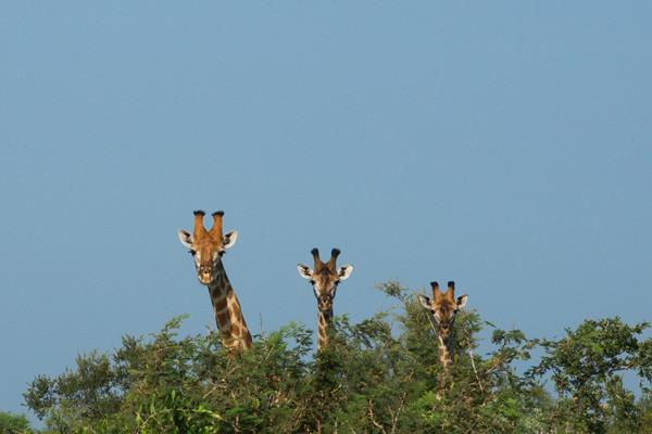 foto 3 giraffen bij artikel gelukkiger en effectiever van bureau stroom